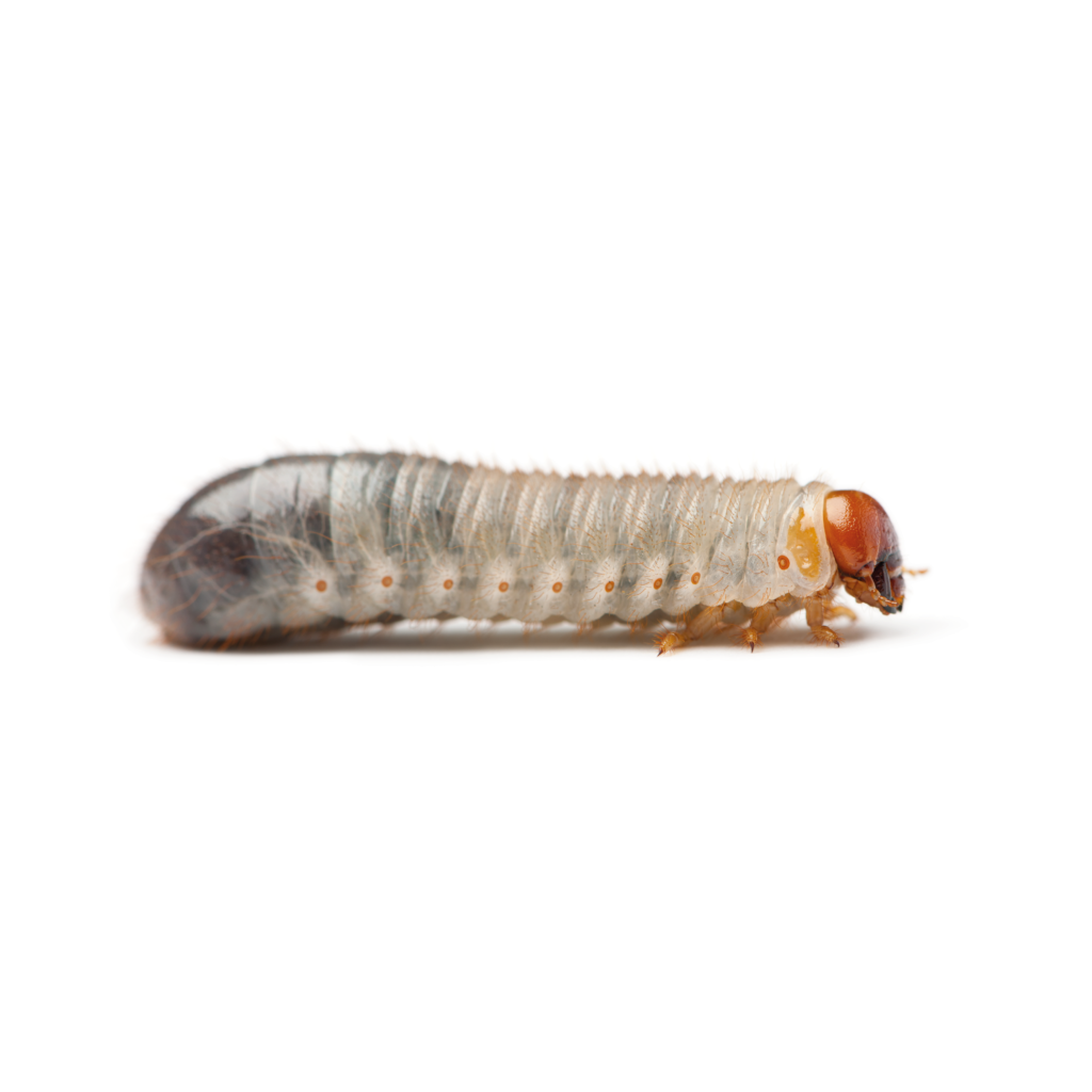 XL Pachnoda / Fruit Beetle Grubs