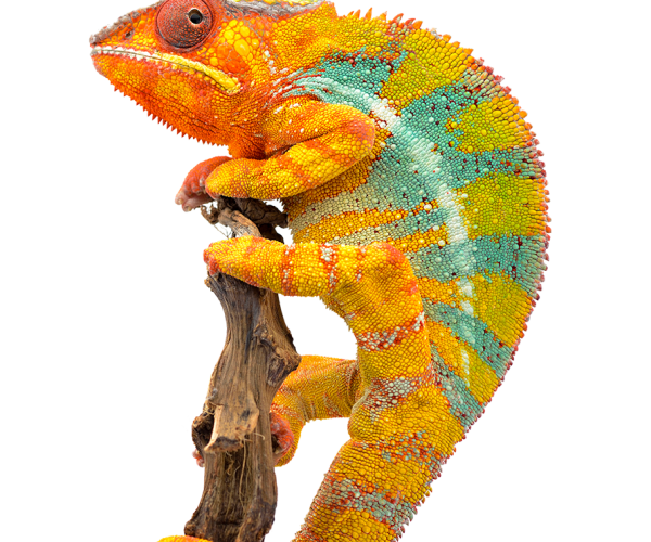 yellow-blue-lizard-panther-chameleon-isolated-on-G6KWB2F